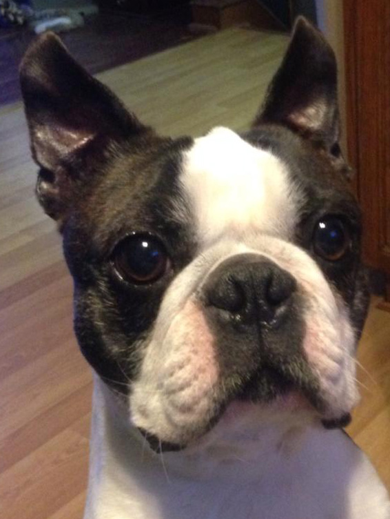 Correct Boston Terrier Expression Standard Colors