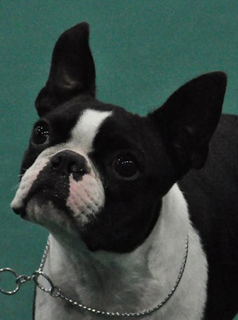 Correct Boston Terrier Expression ~ Standard Colors Pale Green Blue Eyes