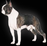 colored boston terriers, boston terriers for sale, blue boston terrier, red boston terrier, cream boston terrier, fawn boston terrier, rare boston terriers, boston puppies for sale, boston terrier standard