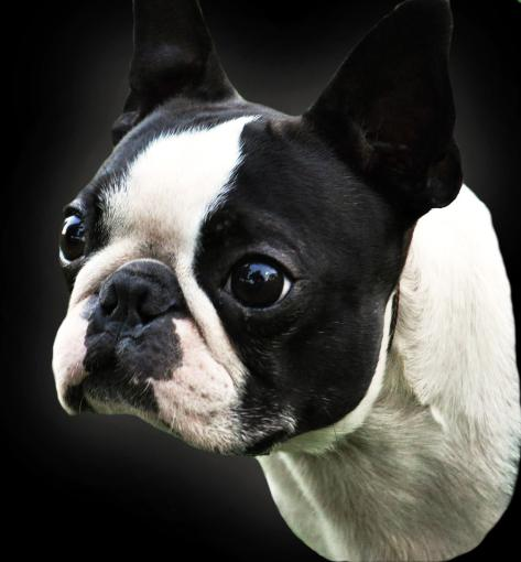 History Of Disqualified Colored Boston Terriers In The