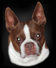 Boston terrier facial cream